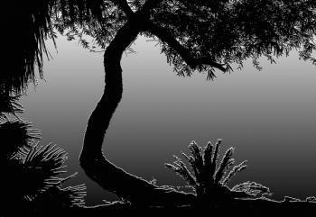 Tree     Agua Caliente.jpg